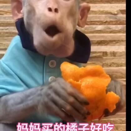 #宠物界吃货# 今天去超市买的橘子 悟空光顾着吃了 都不爱跟我说话了!😭 最近就爱吃橘子! #宠物##日志#