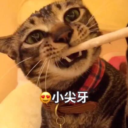 呦呦切克闹 我有好牙我骄傲👏🏻磨牙棒棒轻松啃 猫粮豆豆一口咬😋😋#宠物##俩喵欢乐多##宠物界吃货#