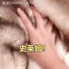 #宠物##哈士奇##史莱姆#😊就你们有史莱姆玩?本宝宝也有!