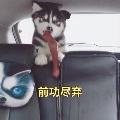 #宠物#什么叫前功尽弃!