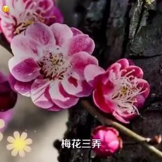 廣東梅城梅花#风景##音乐#梅花三弄