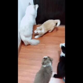 被逼疯的猫,要离家出走……#宠物##猫咪##狗狗#