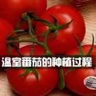 温室番茄的种植过程,也就是大棚种植西红柿😁#超级工厂#