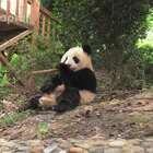 #也就才看二十遍#熊猫家族音乐担当成实老师
