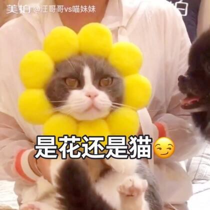 😂😂不想当舞蹈家的猫不是一朵好的太阳花🌻#宠物##精选##宠物手势舞#