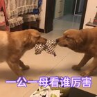 宠物圈互撕😅#宠物##擦!母狗也疯狂#