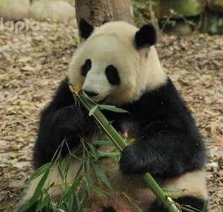 #萌团子陪你过周末#标准的吃竹示范:一根吃到头,绝不浪费一丁点儿~😝