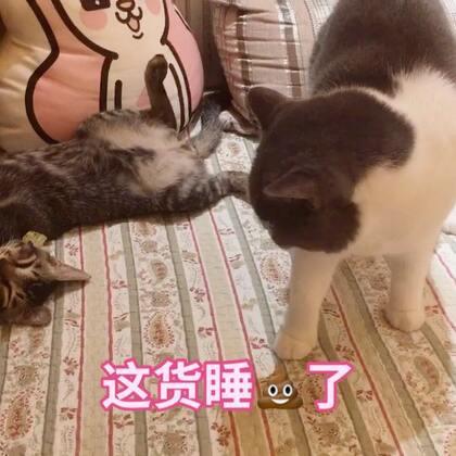 🙂是的 你没看错 猫是液体的😂只要他们想 什么形状都能hold😄#宠物##俩喵欢乐多##宠物奇葩睡姿#