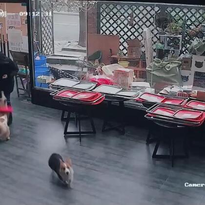 【Gu猫】你家狗狗看到你回家也是这样吗?
