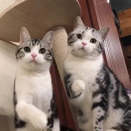 【Gu猫日常】#宠物#