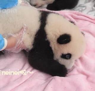 #萌团子陪你过周末##大话熊猫# 走,去吃neinei啦!