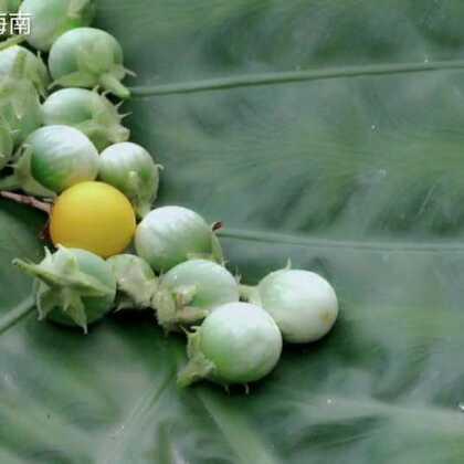 #美食#刺天茄,在农村都是很常见的#我要上热门@美拍小助手##海南三亚#