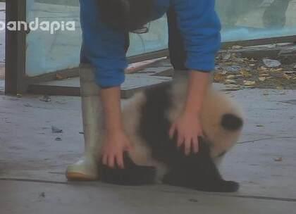 #大话熊猫##萌团子陪你过周末#有种马杀鸡手法,叫做rua😂