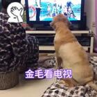 """爷俩看《爸爸去哪儿》#狗狗看电视##宠物#结尾~""""爸爸👨你打算带我去哪遛遛呀"""""""