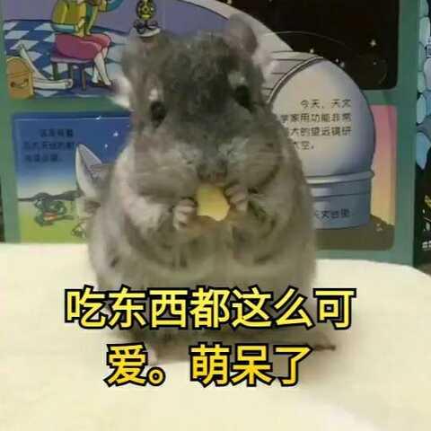 【仓鼠星人美拍】#独特萌宠##萌宠##宠物#吃东西都...
