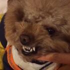 #宠物#✨小石头✨检查结果西班牙加黄斑牙🙈(一口牙呲牙漏缝的还黄)当务之急刷牙 刷牙 刷牙