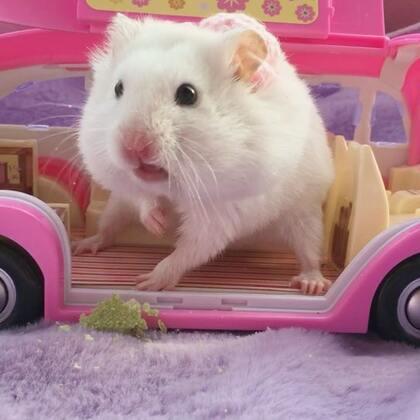 #宠物##独特萌宠##仓鼠#在我的豪华座驾上跟你们吐舌头卖个萌!