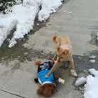 调皮的小魔豆😜出门就喜欢跟大狗🐶玩👼一点也不怕的小狮子🦁鞋子👟都干掉了😄😄😄#宠物##我的宠物是逗比##小魔豆#