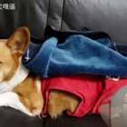 天氣冷到只好打開熱狗基 #柯基犬嘎逼##萌宠##寵物#