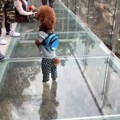 汪星人挑战玻璃桥,好像不怎么害怕,666