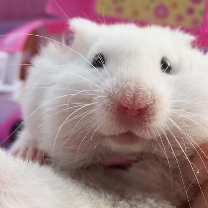 #宠物##独特萌宠##仓鼠#为啥盯着铲屎官看!