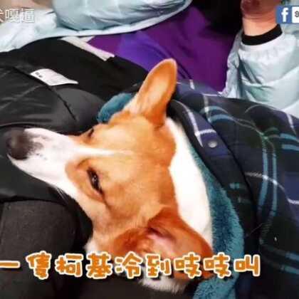 """冷到出動任何""""基""""器都沒用,還是躺在外婆的大腿上最溫暖 (台語配音又來囉)#寵物##柯基犬嘎逼##萌宠#"""