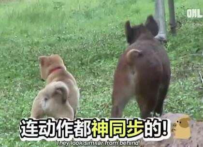 #宠物# 超萌的一对CP:小野猪和狗狗。早前主人救助了被妈妈遗弃的小猪仔,小猪长大后就和家里的狗狗小熊成了最好的朋友。东顺太萌了,时刻照顾着小熊……❤