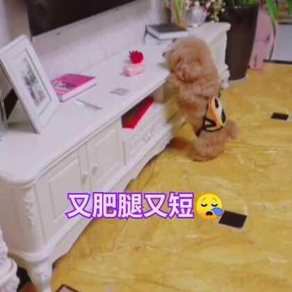 哈哈哈,你们的短肥涂来啦😄#宠物##精选##汪星人#