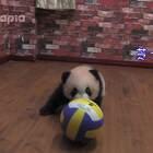 #萌团子陪你过周末##大话熊猫# 圆滚滚的团子圆滚滚的球,芝士班长就是不一样!