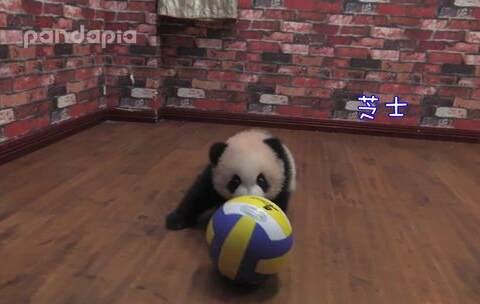 【PANDAPIA美拍】#萌团子陪你过周末##大话熊猫# ...