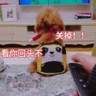 琪琪最近迷上小猪佩奇了😂#精选##宠物##汪星人#http://h5.m.taobao.com/awp/core/detail.htm?id=556919487880 涂麻亲自制作,干净放心。
