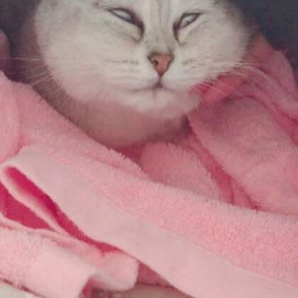 #宠物#封面我太喜欢了哈哈哈哈哈哈 Miumiu真的随便撸 怎么弄她都舒服😂