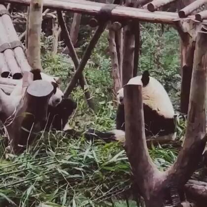 为了看你们吃饭我饿死了😐😂#成都大熊猫#