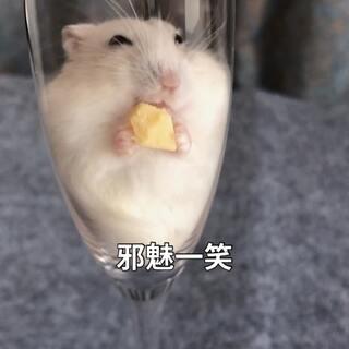 泡芙已经胖到卡在香槟杯里了 😂拿着奶酪吃到忘乎所以🧀#萌宠##仓鼠##我要上热门#