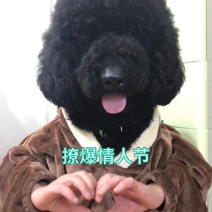 大头来祝大家情人节快乐🐶🎊💖#做我女朋友##精选##宠物#@宠物频道官方账号 @美拍小助手