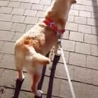 这狗子上辈子是个螺旋桨吧!😂#搞笑##宠物#