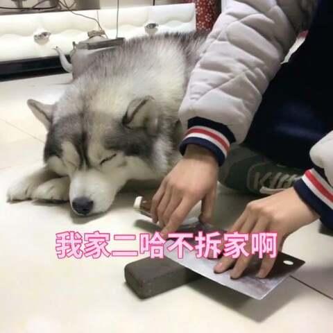 【哈K的经纪人美拍】为啥我家二哈不拆家😒#宠物##精...