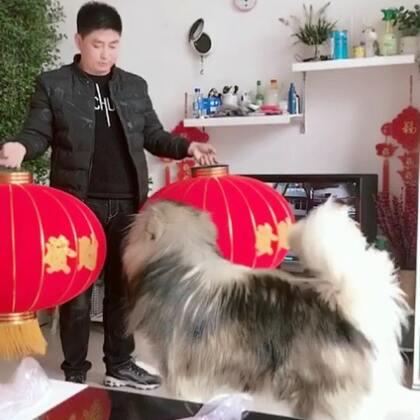 #宠物##汪星人##新年快乐#祝大家新年快乐,狗年大吉❤💕💖🎊🎈🎊🎉🍾️🎈🎉🎈🎊