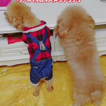 谢谢这一年来你们对三小只的支持哦,涂麻在这里祝你们新年快乐!狗年大吉!#宠物##精选##汪星人#
