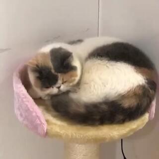 琉稣的美拍:两只猫的饭后减肥运动从130减肥到100的经验图片