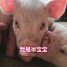 大家好 封面上的猪宝宝 🐷有2月大 还有出生5天的小🐷宝宝 在睡觉 没有入镜 、等着醒来我在拍给大家看! 今天初一 ㊗️大家新春快乐!喵妈给您和您的全家拜年啦!#宠物##萌宠拜年秀##猪#
