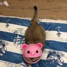 哈哈,我们有猪猪安全帽了,还缺台机车#宠物#