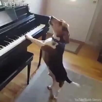 好会弹唱的狗狗!😂