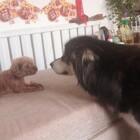 #宠物##汪星人#大仔吃东西,熊熊欠欠的逗人家