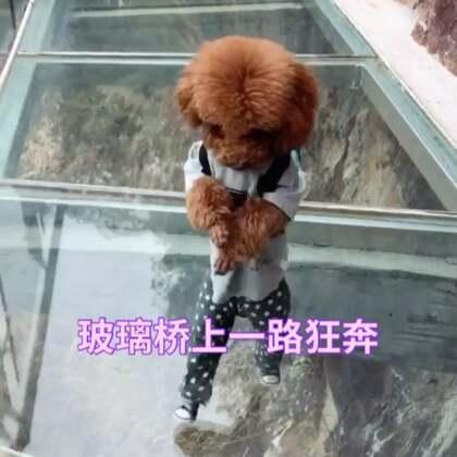 汪星人玻璃桥上一路狂奔