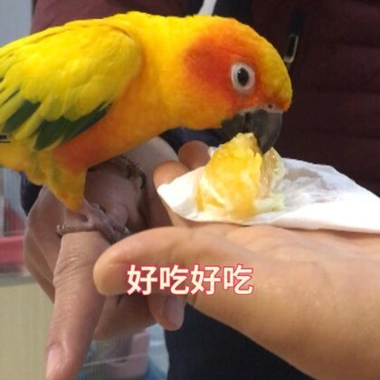 小苹果喜欢吃橙子😂#宠物#