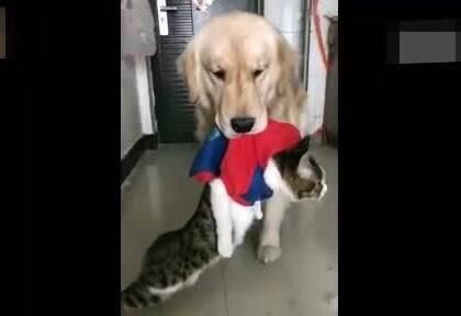 偷吃狗粮的下场。。。金毛:别以为暖男好欺负,敢偷吃我狗粮,滚粗去😂😂😂#宠物#