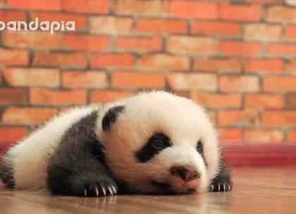 #萌团子日常#超级无敌治愈的熊猫宝宝小奶音!