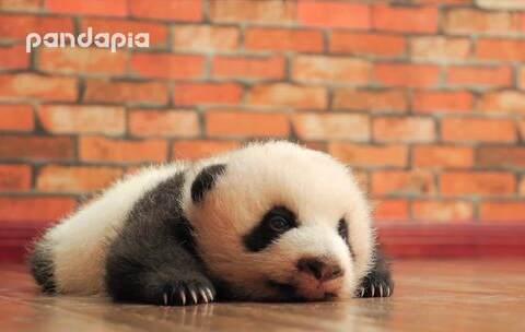 【PANDAPIA美拍】#萌团子日常#超级无敌治愈的熊猫...