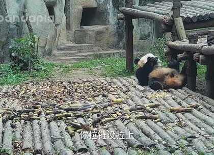 #萌团子陪你过周末##大话熊猫# 如果有人告诉你,拉链没拉上,你……